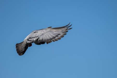 Pigeon in flight Stock Photo