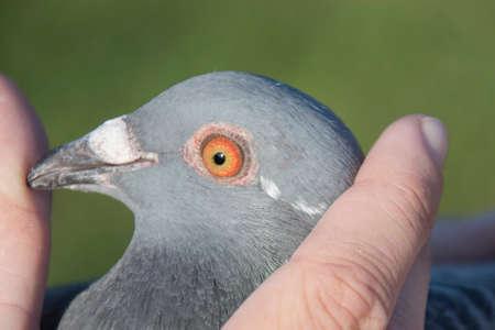 Racing pigeon Stock Photo