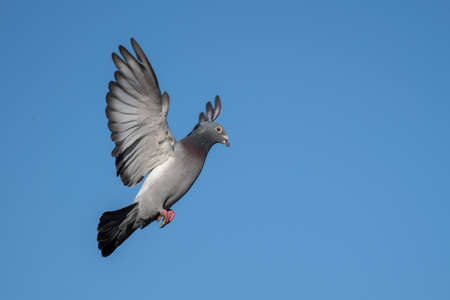 Pigeon in flight Stock Photo