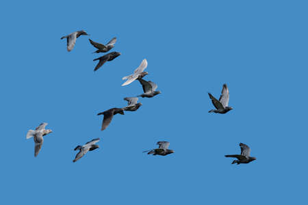 Pigeons in flight Stock Photo