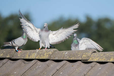 Pigeons on a roof