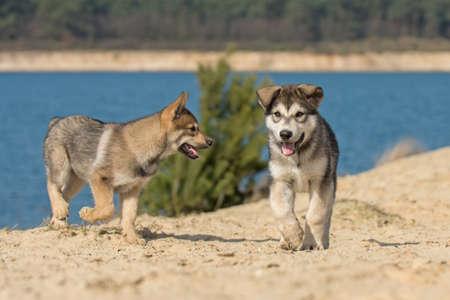 Tamaskan puppies
