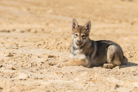 Tamaskan puppy Stock Photo
