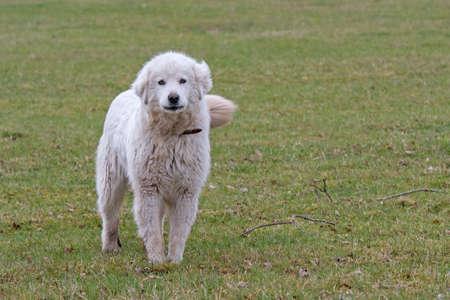 pyrenean mountain dog: Pyrenäenberghund