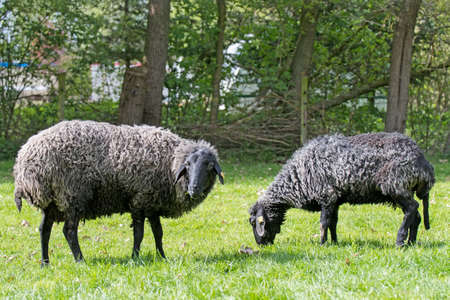 German Karakul sheep