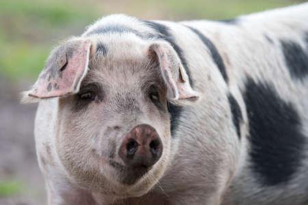 Colorful Bentheimer pig