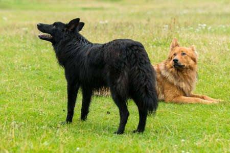 Oude Duitse Honden (Harz vos en zwart) Stockfoto