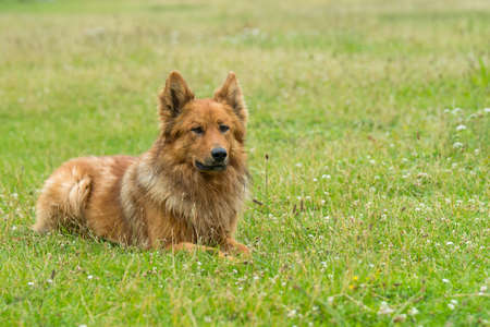 Old German Shepherd (Harz fox)