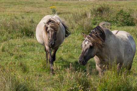 Koniks on the pasture Stock Photo