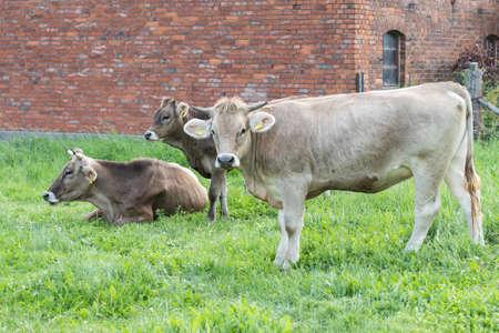 Original brown cattle on pasture