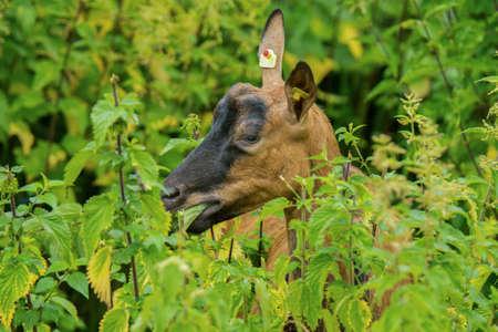 Goats goat Stock Photo