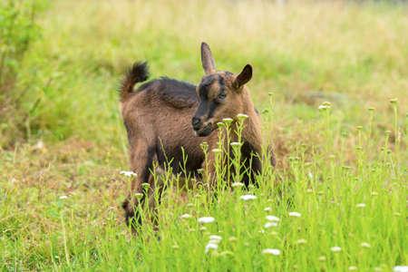 Resin of Goat Stock Photo