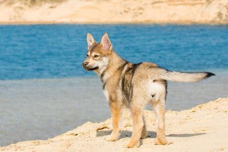 Tamaskan puppy Stock Photo