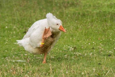 Diepholzer goose