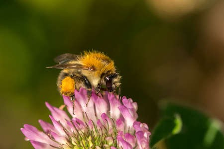 Field Bumblebee (Bombus pascuorum) Stock Photo