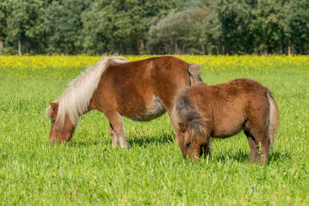 Shetland-pony's