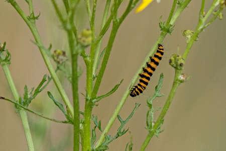 Macaroni (Tyria jacobaeae) larva