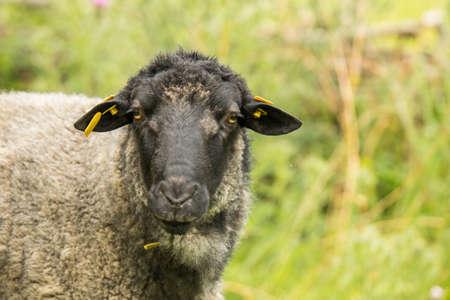 Rauwolliges Pomeranian country sheep Banco de Imagens
