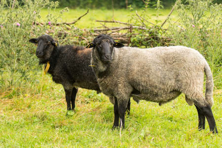 Rauwolliges Pomeranian country sheep Stock Photo