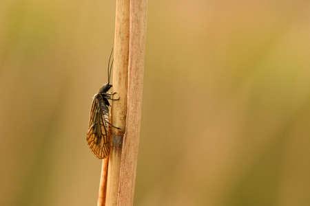 Common water fly (Sialis lutaria): Banco de Imagens - 101108946