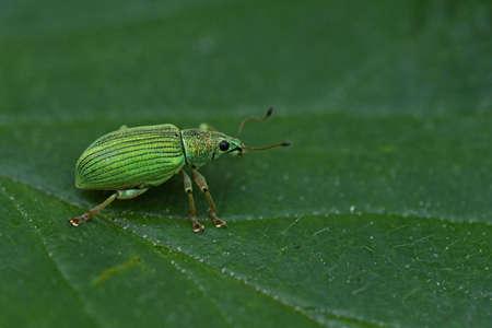 Silvery-green deciduous (Phyllobius argentatus)