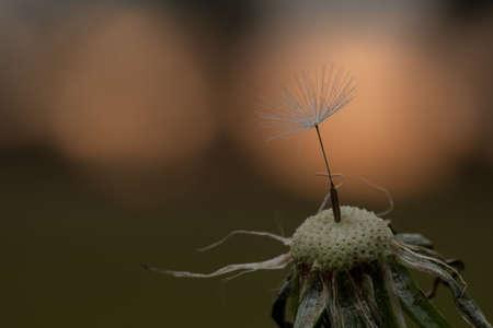 Common dandelion (Taraxacum sect., Ruderalia)