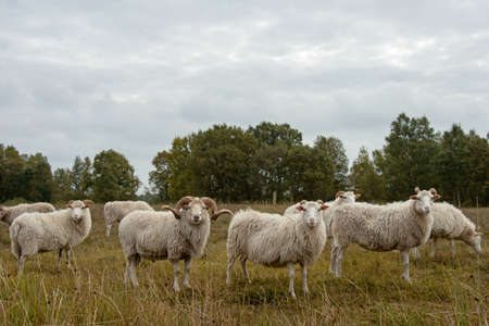 A group of White Horned Heidschnucke closeup photo Stock Photo