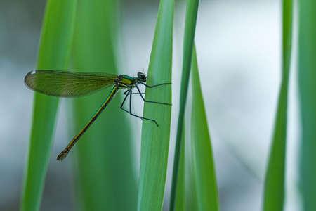 Banded Demoiselle (Calopteryx splendens), female Imagens