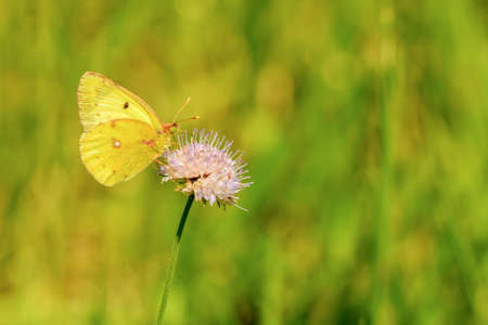 Golden Eight (Colias hyale)