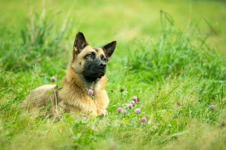 Domestic dog (Canis lupus familiaris)