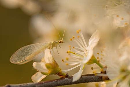 Common lacewing (Chrysoperla carnea sl)