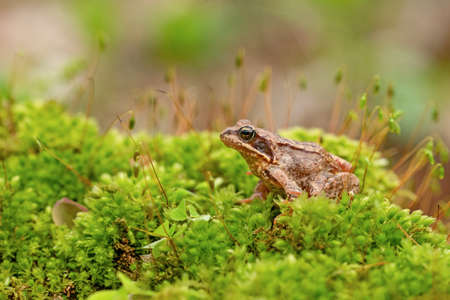 Moorfrosch (Rana arvalis) Reklamní fotografie