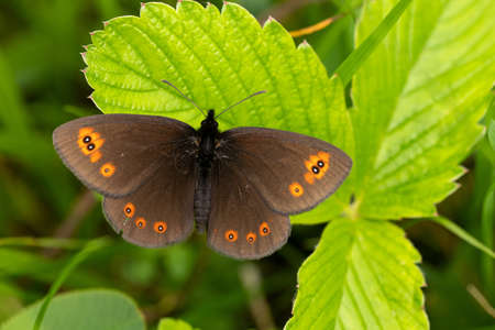 Round-eye Meadow Butterfly (Erebia medusa)