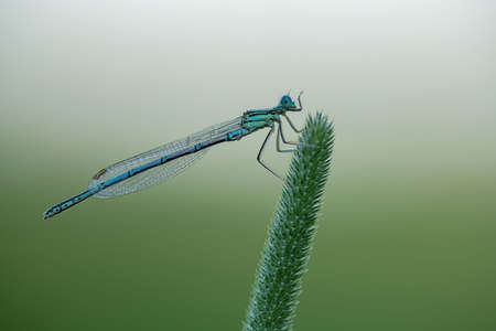 Blue Damselfly (Platycnemis pennipes)