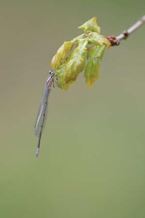 Hufeisen-Azurjungfer (Coenagrion puella)
