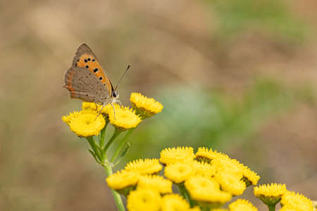Little firefly (Lycaena phlaeas)