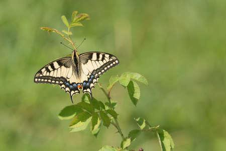 Schwalbenschwanz (Papilio machaon) Reklamní fotografie