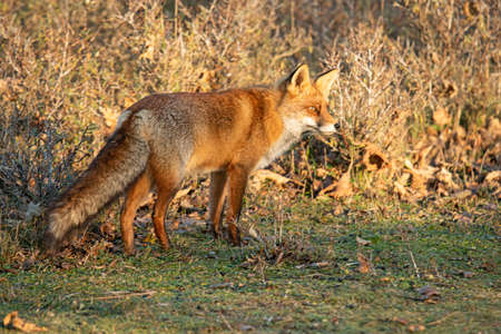 Red Fox (Vulpes vulpes) 写真素材
