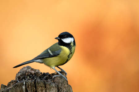 Great tit (Parus major) Foto de archivo