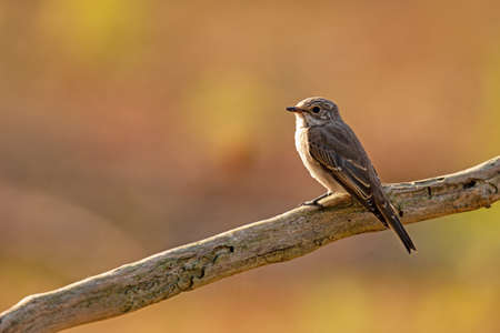 Gray flycatcher (Muscicapa striata)