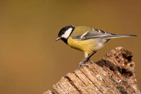 Great tit (Parus major) 写真素材