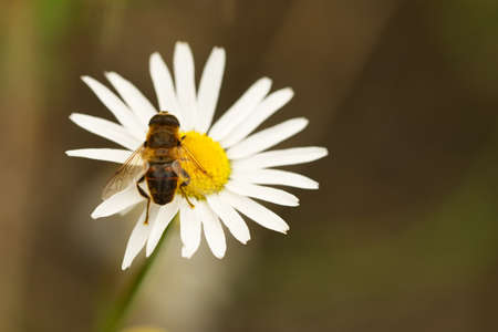 Pseudo-bee-spotted hover fly (Eristalis tenax)