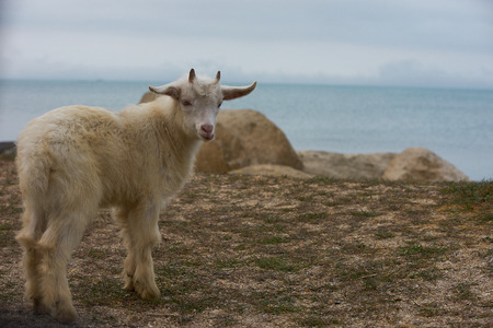 Cute ,White, little, wild mountain horned goatling standing on the gray rock under the bright sunlight near the blue sea.