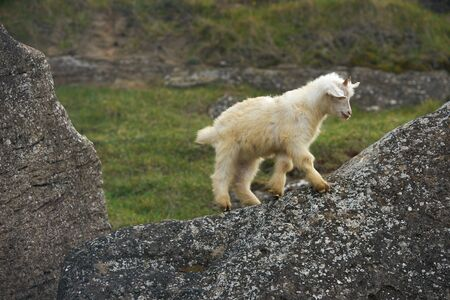 bleating: Cute Young Little white goatling with horns, bleating and climbing on the rock. Stock Photo