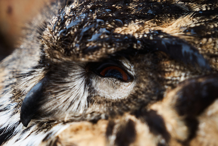 Close-up of great horned old owl