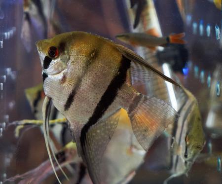 Swimming colorful aquarium fishes background, close-up. nature Stock Photo