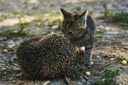 The little kitty cat playing with the hedgehog, outdoors
