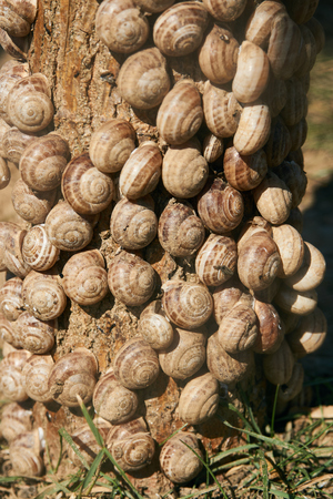 Snails clustered around tree branches to avoid the heat of the summer sun Stock Photo