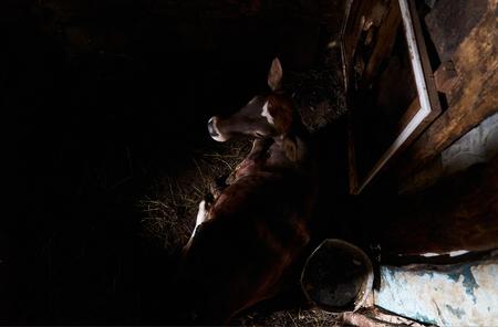 El ternero en un establo de madera oscura en la granja, vista superior