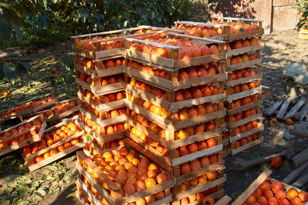 Agriculture harvesting and farming concept with fresh orange persimmon fruits in wooden boxes at farm garden with persimmon trees 스톡 콘텐츠